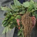 picture of a valerian root